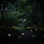 Le lucciole nel bosco di Fusignano (foto di Marco Maccolini)