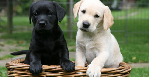 Labradors AP 0SA6F7 645sm8513
