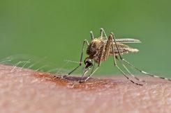 West Nile Virus Specie Italia Culex Pipiens