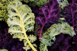 Kale Coltivazione