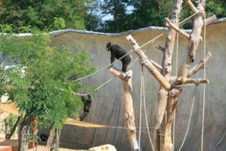 Scimpanzé 2
