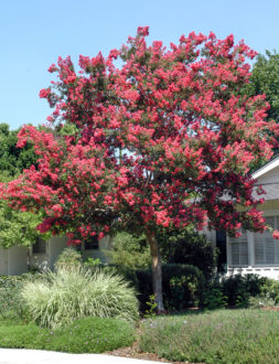 Lagerstroemia Indica Watermellon Red 3