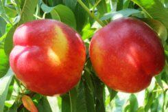 pesca nettarina frutta agricoltura campagna