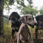 Gli 11 Cuccioli Sequestrati Affidati A Enpa Faenza, Settembre 2019 (3)