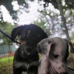 Gli 11 Cuccioli Sequestrati Affidati A Enpa Faenza, Settembre 2019 (6)