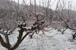 Gelate alberi da frutto