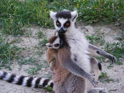 Lemuri Zoosafari