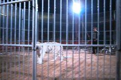 Circo Tigre